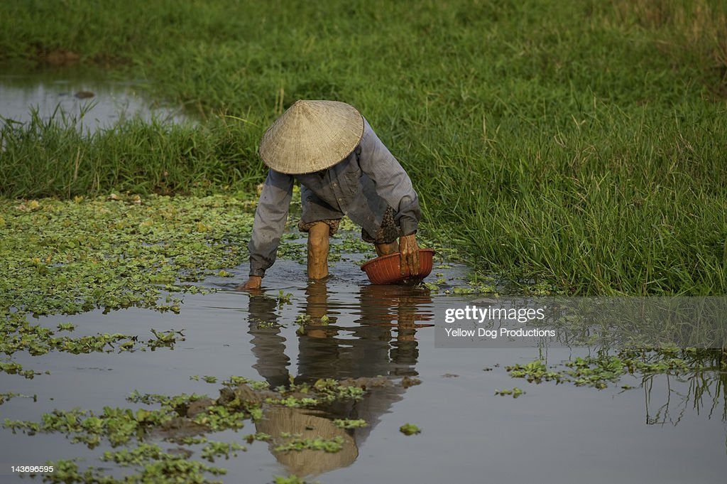 man working in rice paddy, Vietnam : Stock Photo