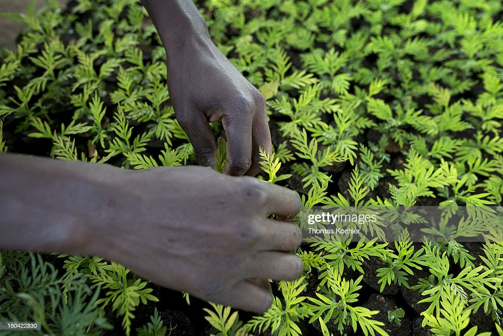 A man works with Grevillea Robusta trees in a tree nursery on August 17, 2012, in Moro, Kenya. The tree nursery belongs to the Moro Self Help Group, a development aid project that should help people to get an additional income.