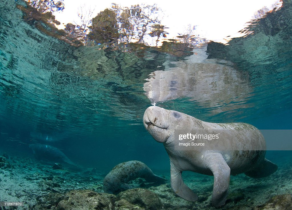 Manatee coming to surface