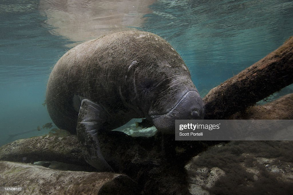 Manatee Crystal River : Stock Photo