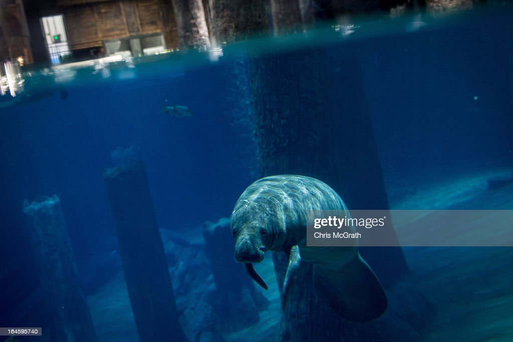 A Manatee is seen at the Amazon Flooded Forest exhibit during a media tour ahead of the opening of River Safari at the Singapore Zoo on March 25, 2013 in Singapore. The River Safari is Wildlife Reserves Singapore's latest attraction. Set over 12 hectares, the park is Asia's first and only river-themed wildlife park and will showcase wildlife from eight iconic river systems of the world, including the Mekong River, Amazon River, the Congo River through to the Ganges and the Mississippi. The attraction is home to 150 plant species and over 300 animal species including 42 endangered species. River Safari will open to the public on April 3.