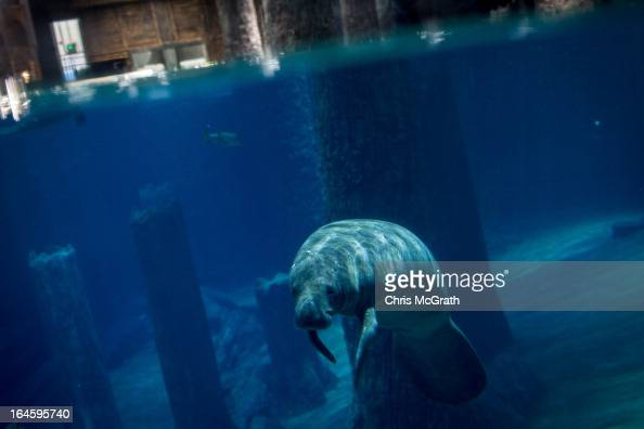 Manatee is seen at the Amazon Flooded Forest exhibit during a media tour ahead of the opening of River Safari at the Singapore Zoo on March 25 2013...