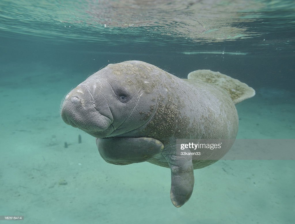 a study on the manatee or the sea cow Manatee factsheet what is a manatee by satellite tagging manatees, biologists can study and observe the traveling patterns mary manatee: a tale of sea cows.