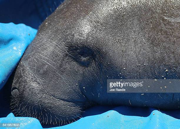 A manatee waits to be released into the Loxahatchee River at the Jonathan Dickinson State Park boat ramp on June 21 2016 in Jupiter Florida The...