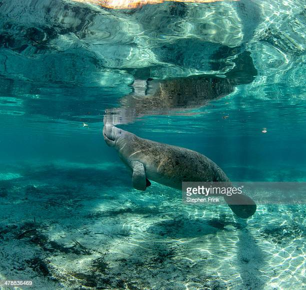 Manatees at Crystal River, Florida