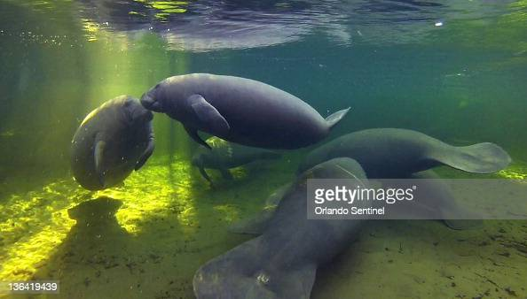 Manatees take refuge Wednesday January 4 in the warmer waters of Blue Spring in Orange City Florida Blue Spring State Park rangers counted 293...