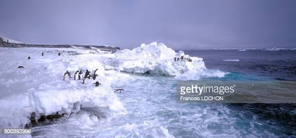 Manchots Adélie en 1995 sur la banquise en Antarctique