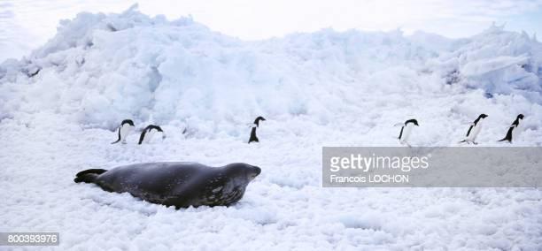 Manchots Adélie et phoque de Weddel en 1995 sur la banquise en Antarctique