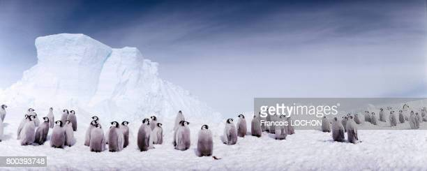 Manchots empereurs en 1995 sur la banquise en Antarctique
