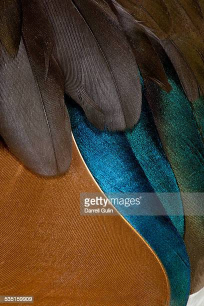 Mandarin Drake Duck Feathers