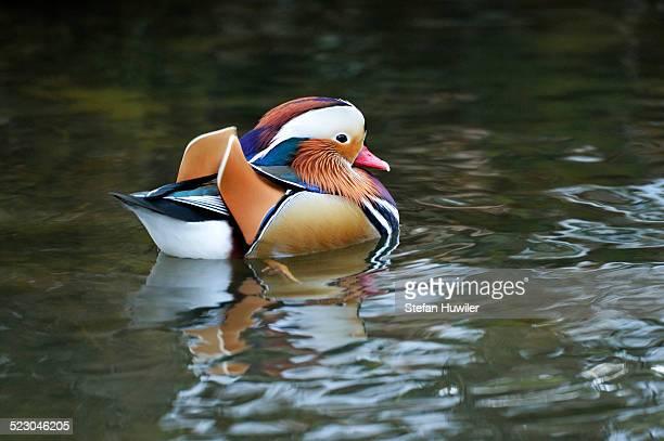 Mandarin Duck -Aix galericulata-, Lake Zug, Canton of Zug, Switzerland