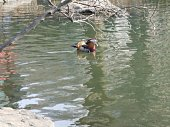 Male duck with bright orange plumage. Unusual duck in Central Park pond in New York City.