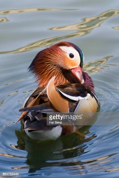 Mandarin Duck male grooming