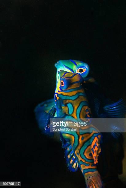 Mandarinfish mating at dusk