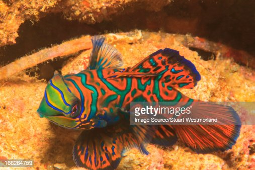Mandarinfish swimming in coral reef : Stock Photo