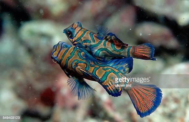Mandarinfish Synchiropus splendidus Malaysia Pazifik Pacific ocean Borneo Mabul