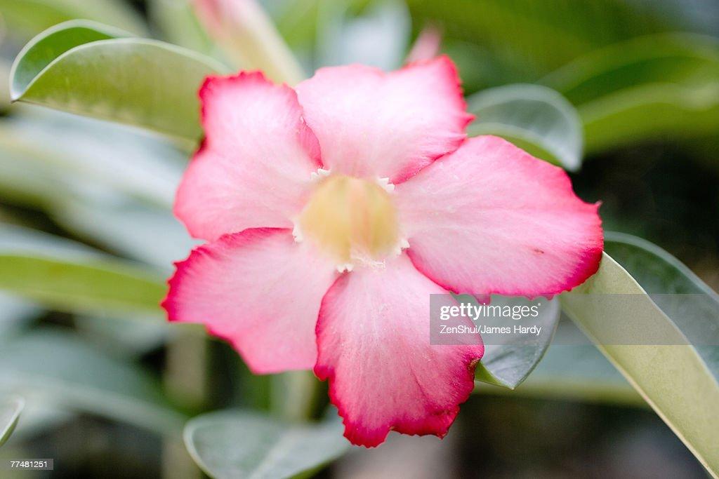 Mandevilla flower : Stock Photo