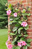 Mandevilla Plant Against a Brick Wall