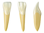 mandibular lateral incisor tooth in the buccal, palatal and lateral views. Realistic 3d illustration of mandibular lateral incisor tooth.