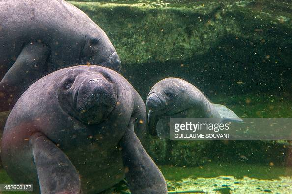 Mandilo a baby manatee which was born on April 24 2014 swims near its mother on July 19 2014 at the Zoo Parc of Beauval Mandilo was rescued and...