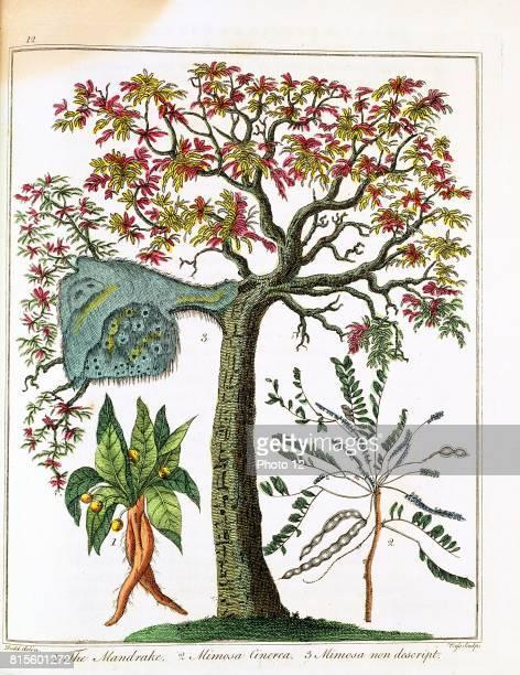 Mandrake Sensitive plant Acacia Print published London c1795