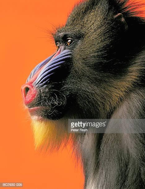 Mandrill (Papio sphinx) against orange background, close-up