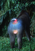 Mandrill Mandrillus sphinx Rainforest Species. Endangered. Camaroon and Gabon. Rump of Male, bright blue coloring. - -