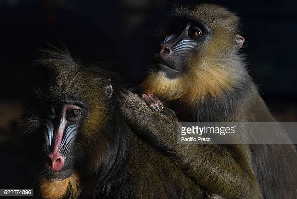 Mandrill pictured at Madrid Zoo The red yellow and blue 'war paints' have a lot to do with the nivel of aggressiveness and the status within the...