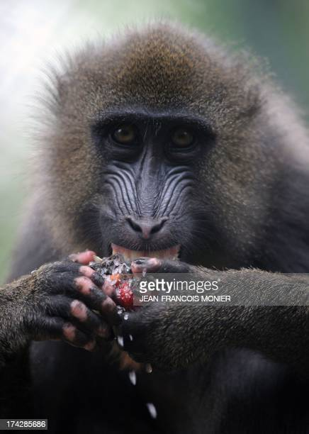 A mandrill refreshes with ice made of frozen sunflower seeds corn and strawberry on July 23 2013 at the La Fleche zoo western France Keepers at the...