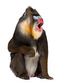Mandrill sitting and shouting - Mandrillus sphinx (22 years old) is a primate of the Old World monkey