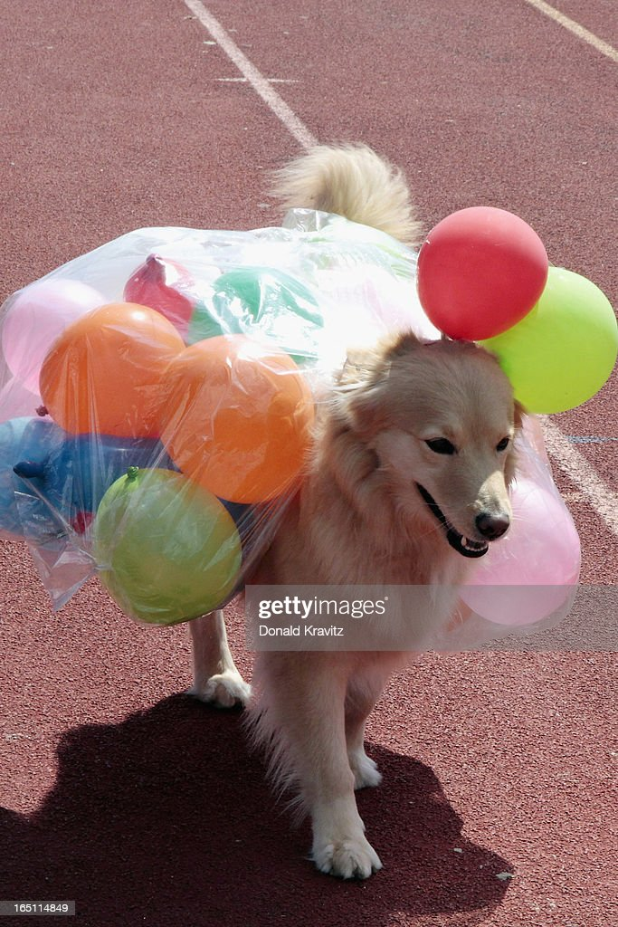 Mandy, a Golden Retriever, in her Jelly Belly outfit attends the Woofin Paws pet fashion show at Carey Field on March 30, 2013 in Ocean City, New Jersey.