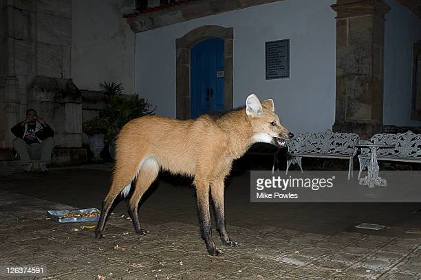Maned Wolf (Chrysocyon brachyurus) in courtyard, Caraca Natural Park, Brazil