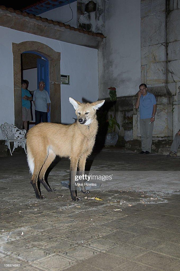 Maned Wolf (Chrysocyon brachyurus) in courtyard, Caraca Natural Park, Brazil : Stock Photo