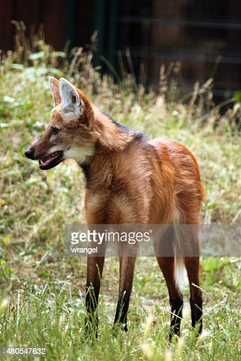 Maned wolf (Chrysocyon brachyurus). : Stock Photo