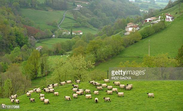 MICHEL 'Manex a tete noire' sheep whose milk produces Ossau Iraty cheese from the herd of French farmer Peyo Bereterbide graze on a steep moutain...