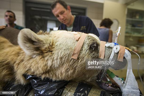Mango a 19yearold male Syrian brown bear is sedated as he is prepared for an operation to treat a slipped disk at the Ramat Gan Safari park near Tel...