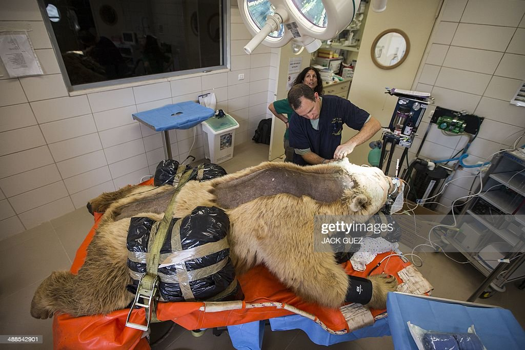 Mango, a 19-year-old male Syrian brown bear is sedated as he is prepared for an operation to treat a slipped disk (T2 and T3) at the Ramat Gan Safari park, near Tel Aviv, on May 7, 2014. This is reportedly the first operation of its kind ever to takeplace. AFP PHOTO / JACK GUEZ