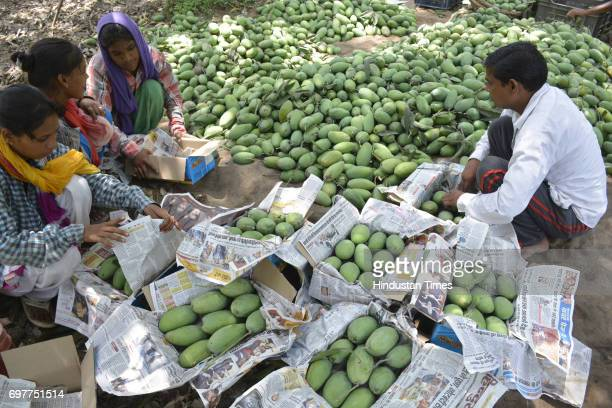 Mango growers packing their harvest into the cartons on June 18 2016 in Ghaziabad India The Mango growers are cashing on to the summer season with...