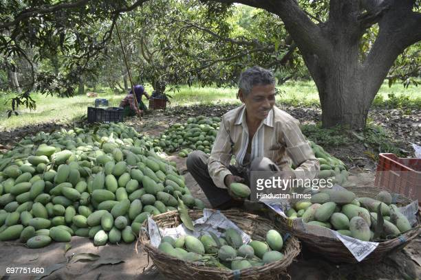 Mango growers separating mangoes according to quality before packing their harvest into the cartons on June 18 2016 in Ghaziabad India The Mango...