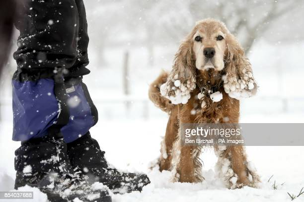 Mango the 5yearold Cocker Spaniel enjoying the snow in Victoria Park Totterdown Bristol where snow has been falling overnight and continues to fall