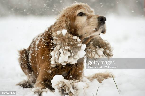 Mango the five year old Cocker Spaniel enjoying the snow in Victoria Park Totterdown Bristol where snow has been falling overnight and continues to...