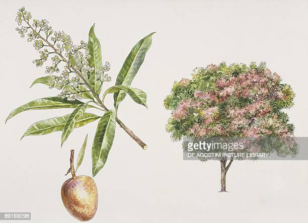 Mango trees plant with flower and drupe illustration