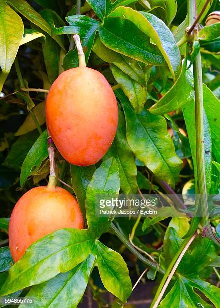 Mangoes Growing On Tree