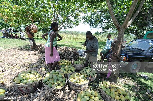 Mangos are harvested at a farm on July 6 2010 in the small community of Mirebalais approximately 60 km northeast of PortauPrince Haiti was already...