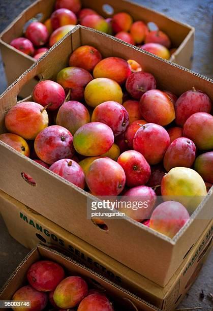 Mangos in Export Cartons
