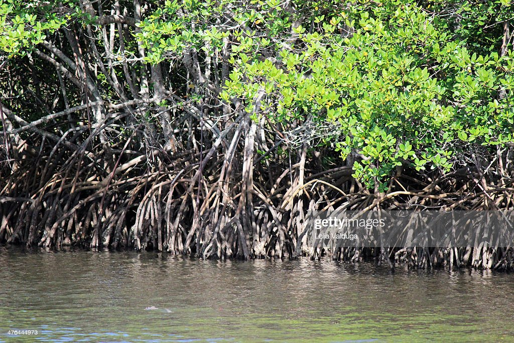 mangrove ecosystem Inside the mangrove forest film by kslof inspires students to steward this beautiful vital ecosystem that births 75% of tropical fish, birds, reptiles.