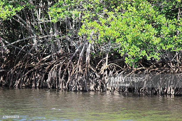 Mangrove - Ecosystem