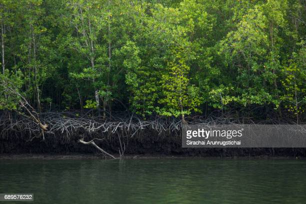 Mangrove forest by the river at low tide