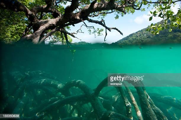 Forêt de Mangrove