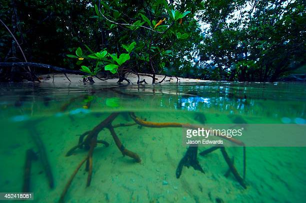 Mangrove forest tree roots sink into the sandy bottom at high tide.